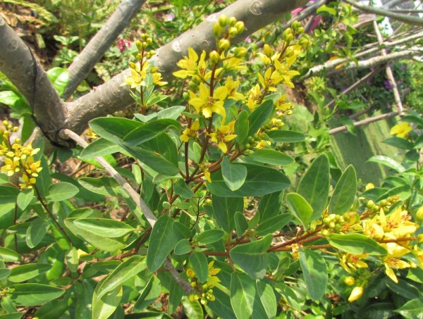 Гальфимия сизая (Galphimia glauca) цветы таиланда