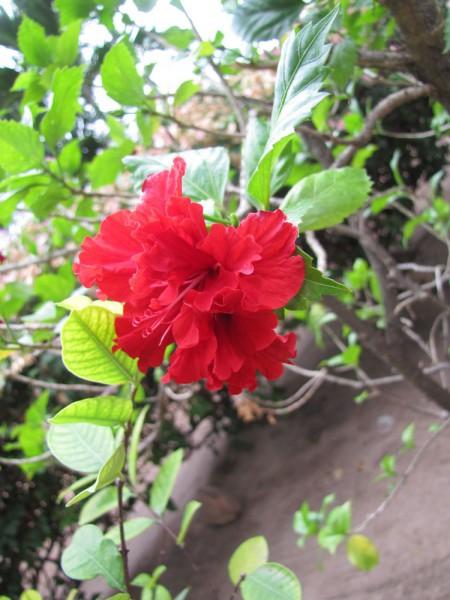 цветы таиланда Гибискус, китайская роза, Hibiscus rosa-sinensis
