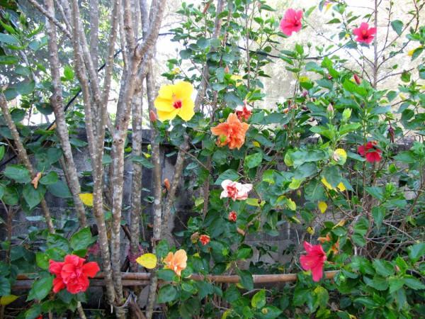 Гибискус, китайская роза, Hibiscus rosa-sinensis