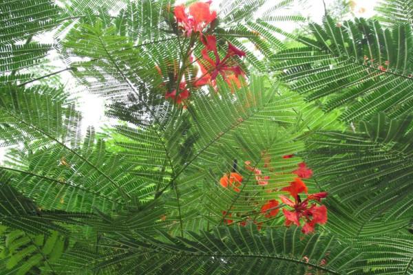 цветы таиланда Делоникс Королевский, Delonix regia