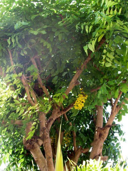 Кассия трубчатая (лат. Cassia fistula), Золотой дождь цветы таиланда
