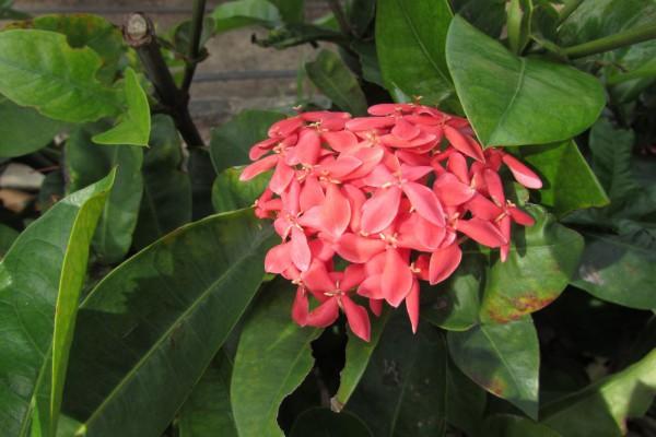 Иксора, Ixora цветы таиланда