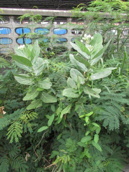 Калотропус Гигантский (лат. Calotropis Gigantea) цветы таиланда