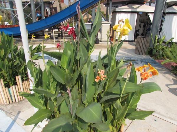 Канна (Canna indica, Canna x generalis) цветы таиланда