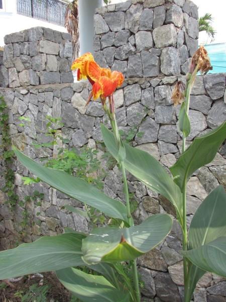 Канна (Canna indica, Canna x generalis)
