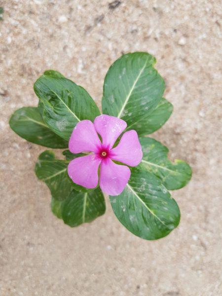 Катарантус, или Барвинок розовый цветы таиланда
