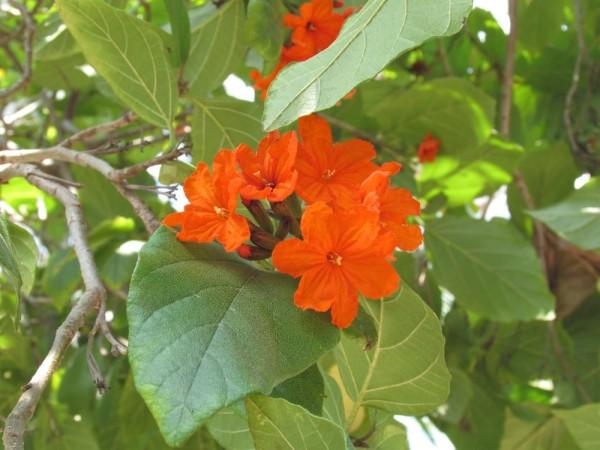 Кордия Себестена (Cordia sebestena) цветы таиланда