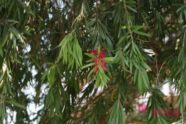 Каллистемон, Красивотычиночник, или Краснотычиночник (Callistemon citrinus)