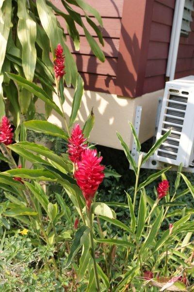 Куркума (Curcuma), сиамский тюльпан