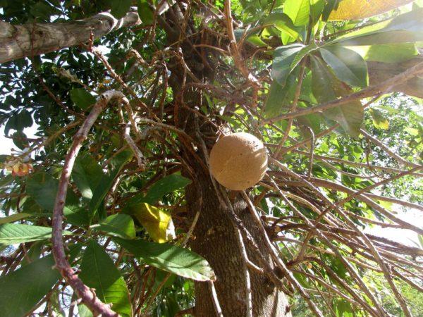 Курупита гвианская (лат. Couroupita guianensis) цветы таиланда