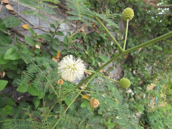 Левкена сизая, Мимоза белоголовая цветы таиланда