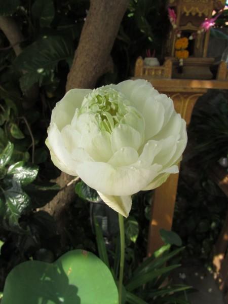 цветы таиланда лотос орехоносный