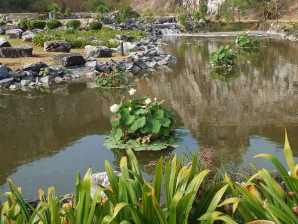 Лотос орехоносный, Nelumbo nucifera, Asiatic lotus