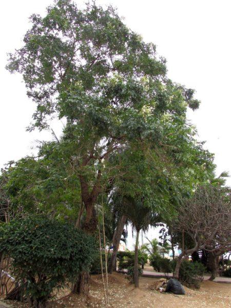 Миллингтония, Жасминное дерево, Индийское пробковое дерево цветы таиланда