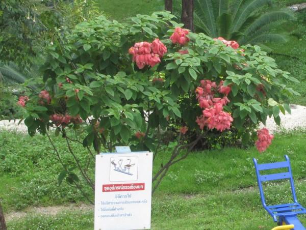 цветы таиланда Муссенда, Mussaenda