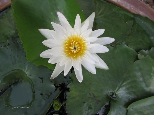 Кувшинка нимфея, Nymphaea цветы таиланда