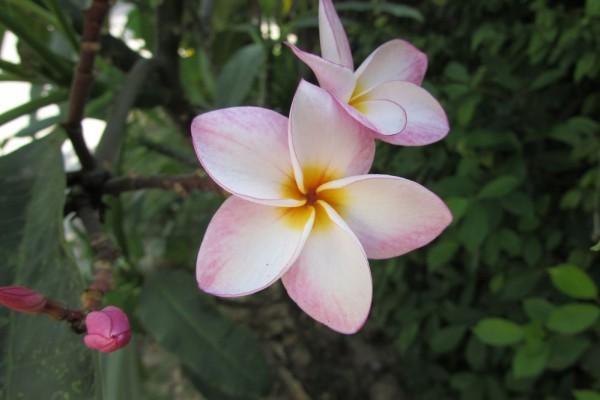 цветы таиланда плюмерия франжипани лилавади
