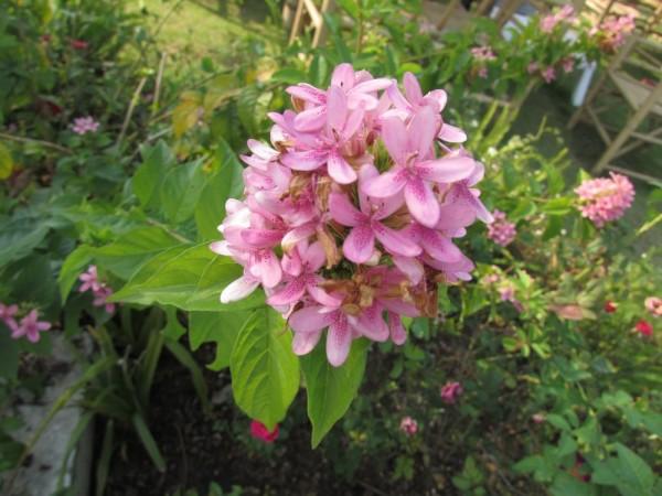 Псевдоэрантемум (Pseuderanthemum)