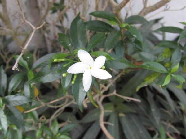 Псилантус (Psilanthus bengalensis)
