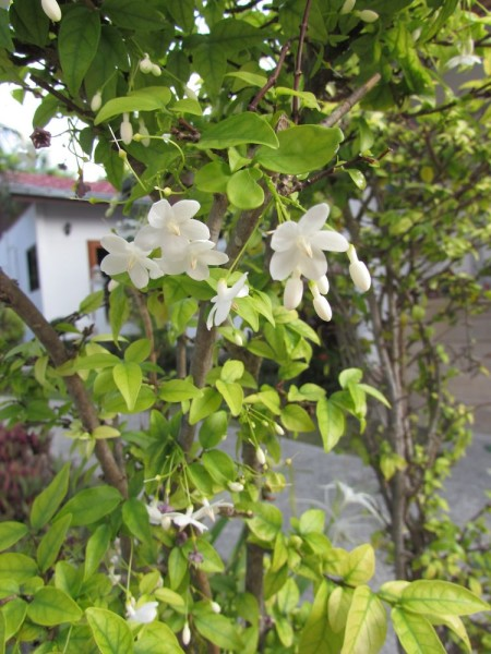 Райтия священная (Wrightia religiosa) цветы таиланда