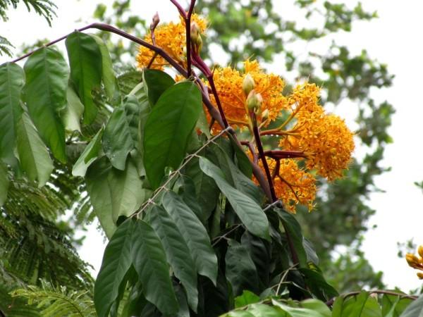 Сарака желтая (Saraka) цветы таиланда
