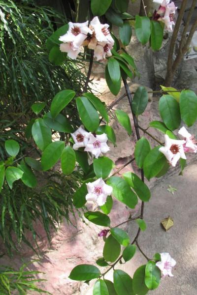 Строфант приятный Strophanthus gratus цветы таиланда