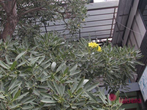 цветы таиланда Табебуйя (Tabebuia)