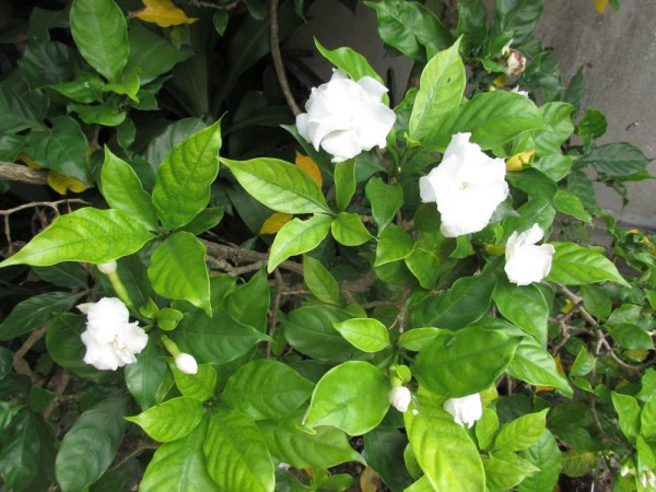 Табернемонтана махровая (Tabernaemontana divaricata Flore Pleno, Hollarhena densiflora, Tabernaemontana coronaria) цветы таиланда