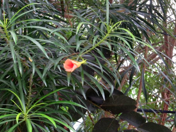Тевеция, Жёлтый олеандр (Thevetia nereifolia, Thevetia peruviana, Cascabela thevetia) цветы таиланда