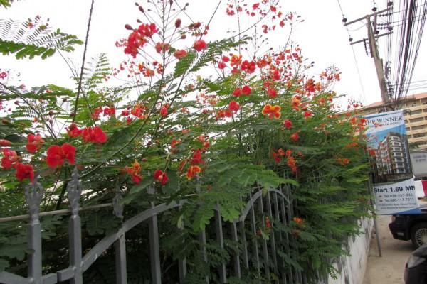 Цезальпиния Прекрасная, Caesalpinia pulcherrima