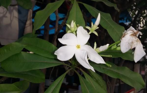 Цербера одолламская (Cerbera odollam) цветы таиланда