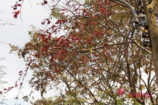 Эритрина пестрая, или Индийское коралловое дерево Erythrina variegata