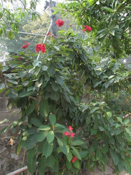 Ятрофа цельнокрайняя, Коралловый цветок (Jatropha integerrima) цветы таланда