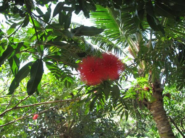 Calliandra haematocephala - каллиандра красноголовая