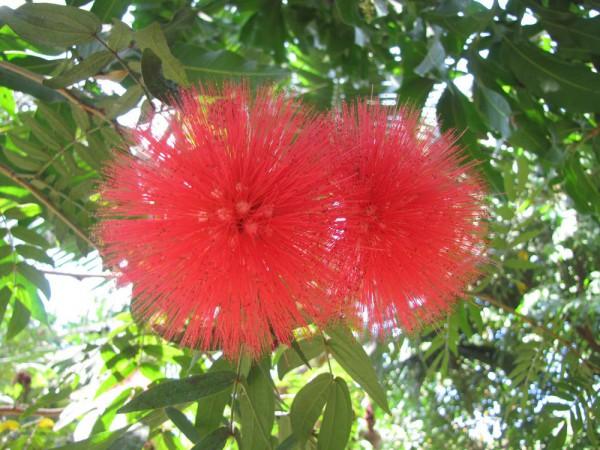 цветы таиланда Calliandra haematocephala - каллиандра красноголовая
