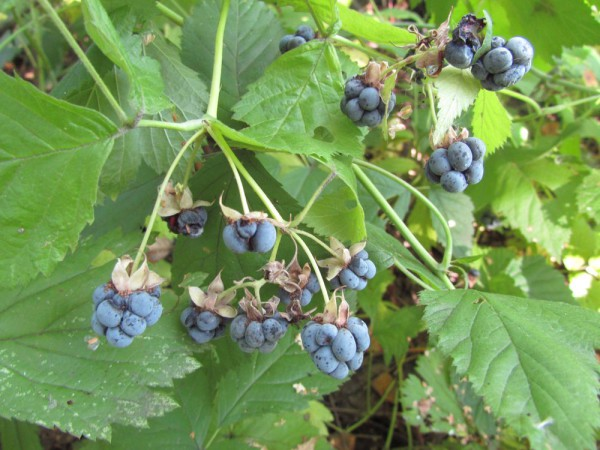лесная ежевика загадки про ягоды