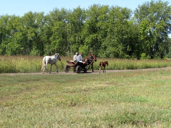 Лето в деревне фото лошадь с жеребятами