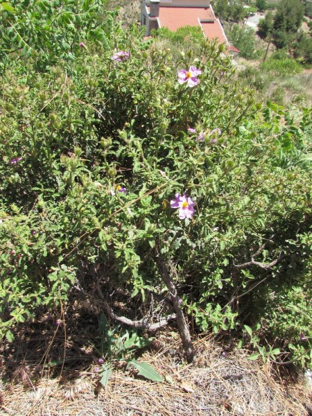ладан растет цветы кипра