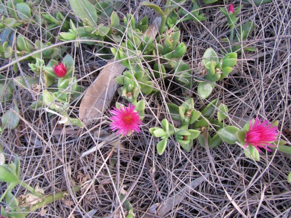 Аптения сердцелистная (Aptenia cordifolia) цветы кипра