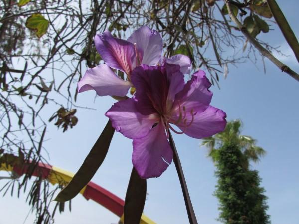 Баухинья пурпурная, Bauhinia purpurea цветы кипра
