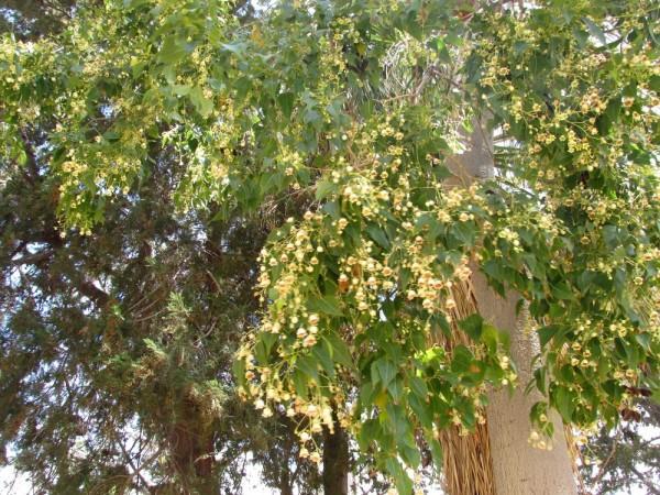 цветы кипра бутылочное дерево Брахихитон разнолистный
