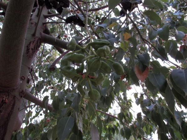 цветы кипра Брахихитон разнолистный бутылочное дерево