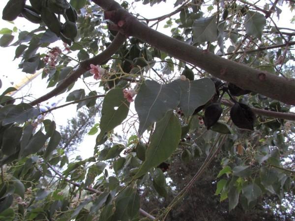 цветы Брахихитон разнолистный бутылочное дерево