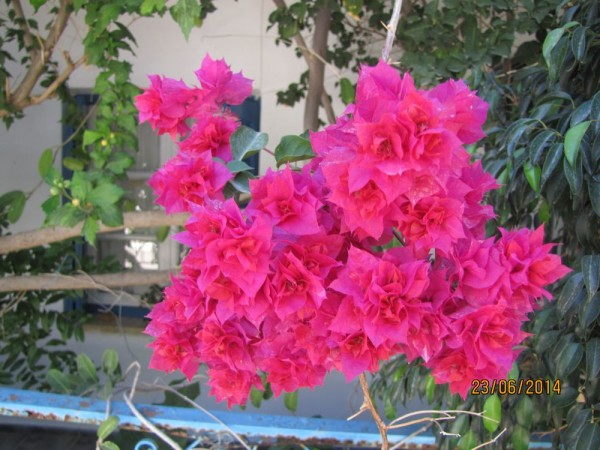 Бугенвиллия (Bougainvillea) цветы крита
