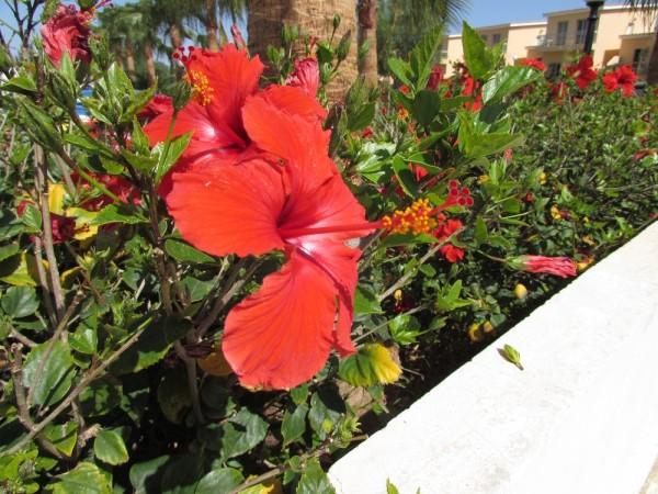 Гибискус, китайская роза (Hibiscus rosa-sinensis) цветы кипра