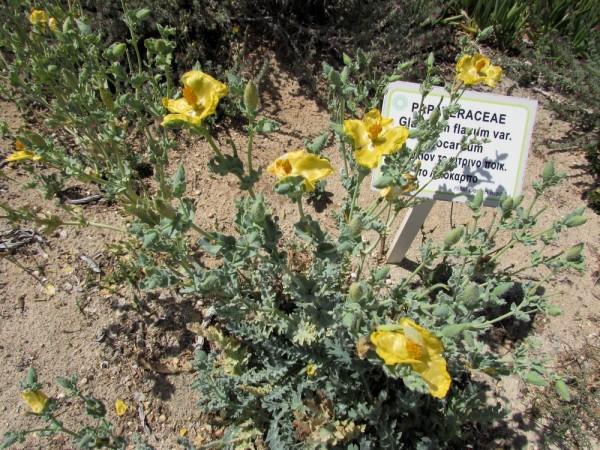 Глауциум жёлтый, мачок желтый (Glaucium flavum) цветы кипра