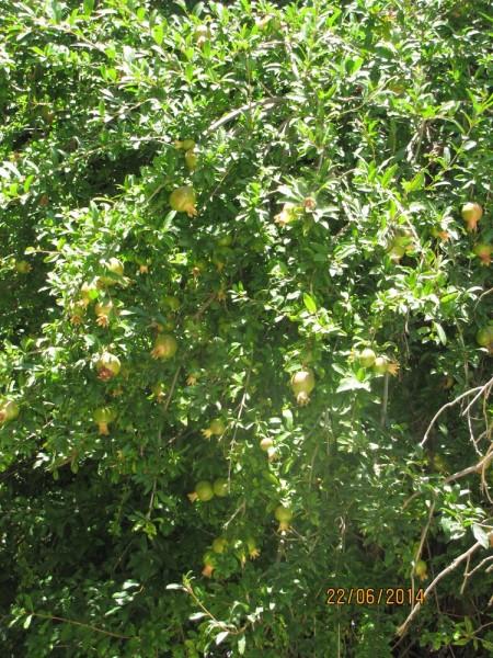 Гранат (Punica) цветы крита