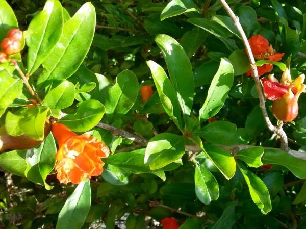 Гранат (Punica) цветы кипра