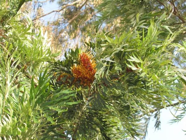Гревиллея крупная (Grevillea robusta) цветы кипра