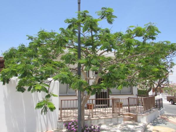 Делоникс (Delonix) цветы кипра
